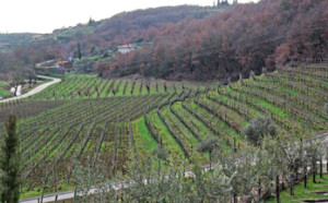 Vineyards at Kozlovi Winery in Croatia
