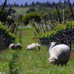 Babydoll sheep at Navarro Vineyards in Mendocino Country