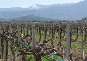Vineyard view at Ponte Family Estate Winery, Temecula