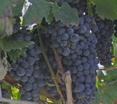 """Usakhelauri There is limited plantings of this grape and few bottles of wine made. The word Usakhelauri means """"nameless"""" in Georgian. Nameless is a reference to the grape being """"beyond words"""" and """"priceless."""" In a good year about 1,000 bottles are produced. The wine is expensive."""
