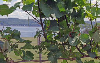 A glimpse of one of the Finger Lakes from a vineyard