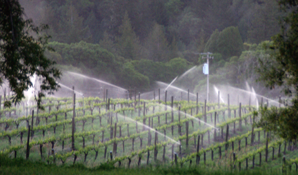 Medocino's weather is not always perfect for vineyards. An early morning water spray wards off freezing temperatures.