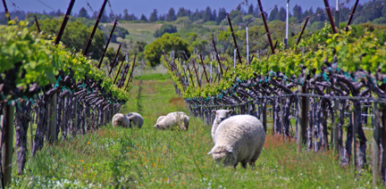 Baby doll sheep mow the grass at Navarro Vineyards.