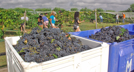 In just a half hour, bins were filled with grapes.