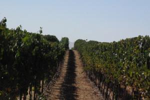 Vineyards in Dunnigan Hills AVA, California