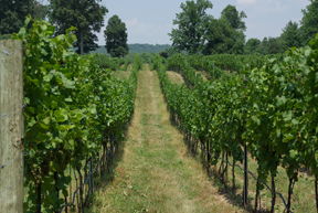 Vineyards at Sugar Loaf Mountain, Maryland