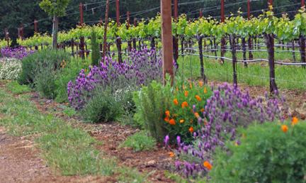 Biodynamic vineyard in Mendocino County, California