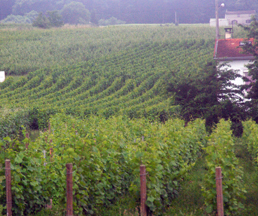 A vineyard in Champagne, France