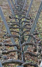 Experimental Sagrantino vineyard at Arnaldo Caprai Winery in Montefalco, Italy