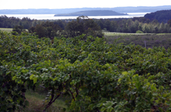 Vineyards at Chateau Chantal