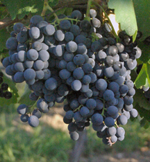 Saperavi grapes
