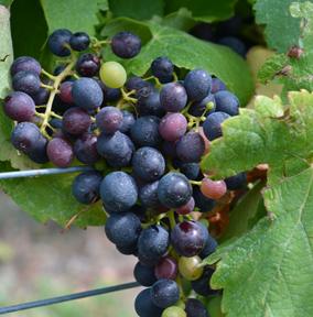Saperavi at Standing Stone Vineyards