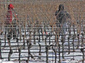 Jason's Vineyard pruning