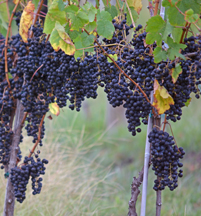 Prolific vines at Winery 32