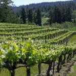 Husch Vineyards
