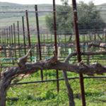 Doffo Winery vineyards
