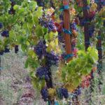 Monte de Oro Winery & Vineyards