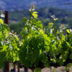 Parducci vineyards in Mendocino County
