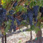 Vindemia vineyards in Temecula