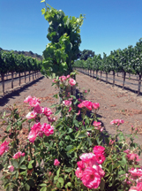 Fess Parker Winery and Vineyard