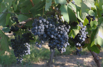 Georgia grapes