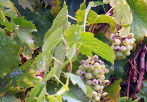 Vernaccia grape