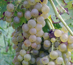 Kentucky grapes