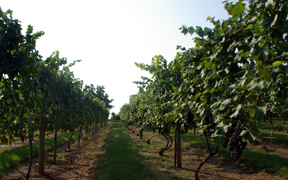 grape vines in the late summer