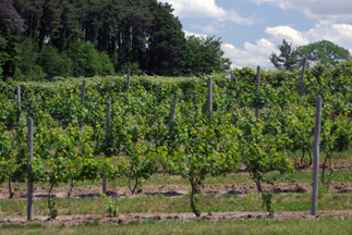 Old Shore Vineyards