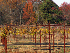 Hinnant Family Vineyard