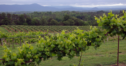 Tennessee vineyard